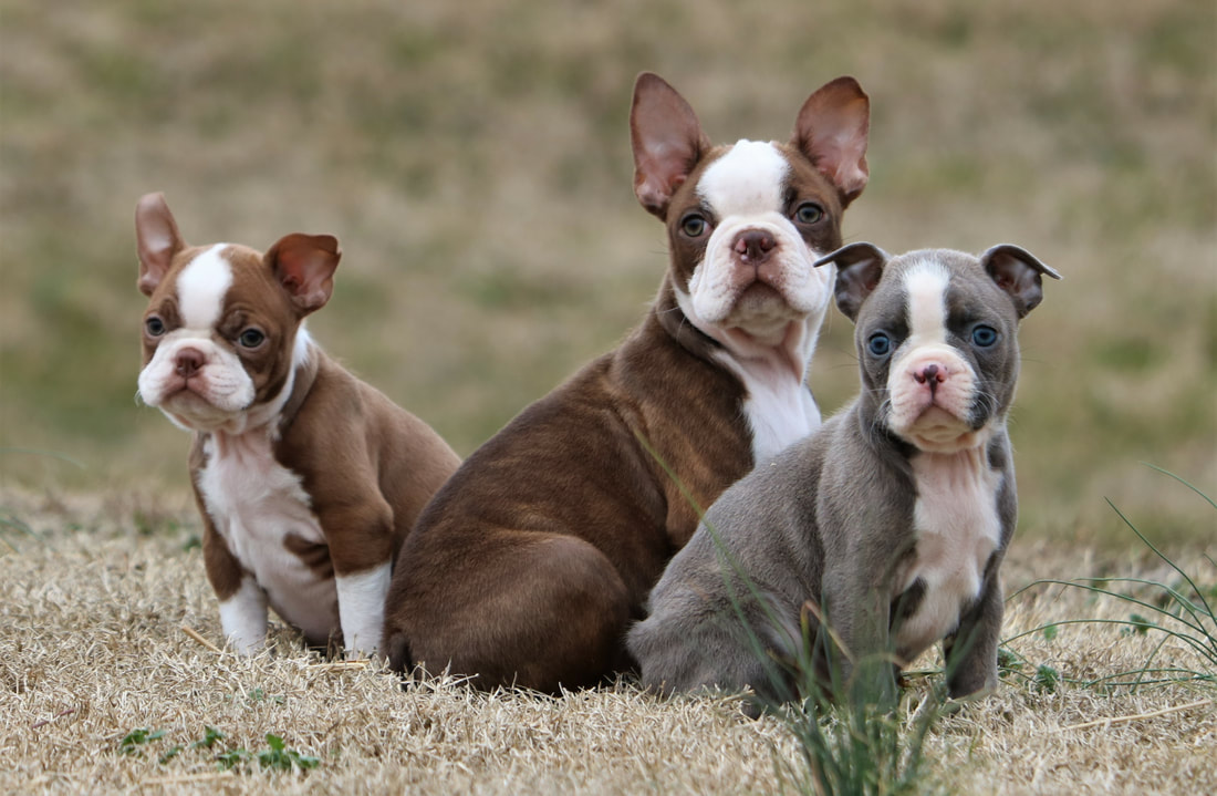 available puppies for sale